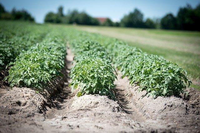 Środki chwastobójcze do kukurydzy