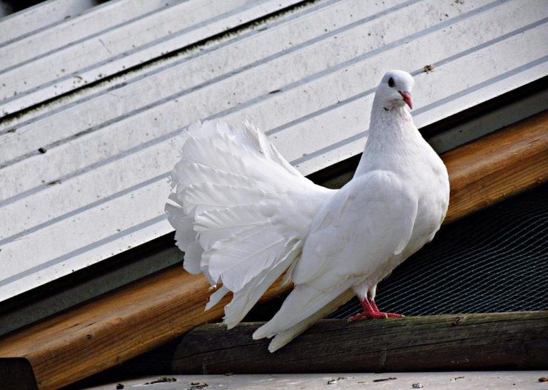 Czy jesteście miłośnikami gołębi?